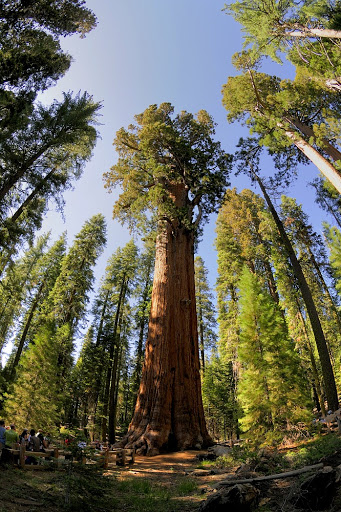 Pohon Terbesar Dunia