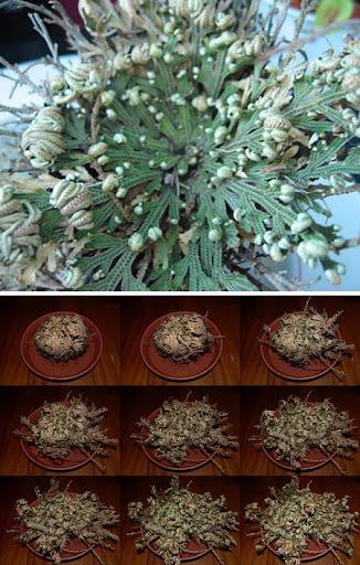 ressurrection plant 10 Tumbuhan Terunik Dan Teraneh Di Dunia