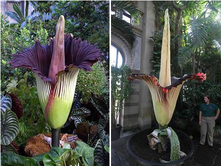 corpse flower 10 Tumbuhan Terunik Dan Teraneh Di Dunia