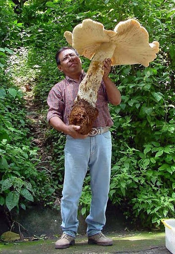 The Giant Mushrooms