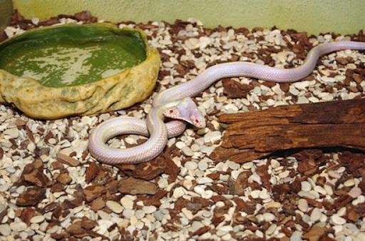 ular kepala dua 5 Kumpulan Ular Berkepala Dua di Seluruh Dunia