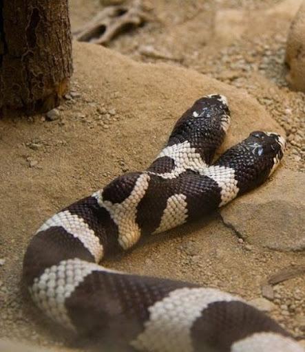 ular kepala dua 9 Kumpulan Ular Berkepala Dua di Seluruh Dunia