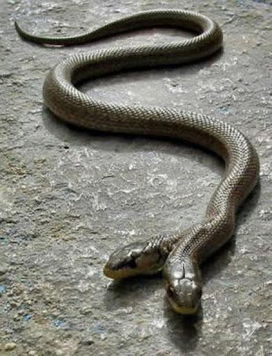 ular kepala dua 8 Kumpulan Ular Berkepala Dua di Seluruh Dunia