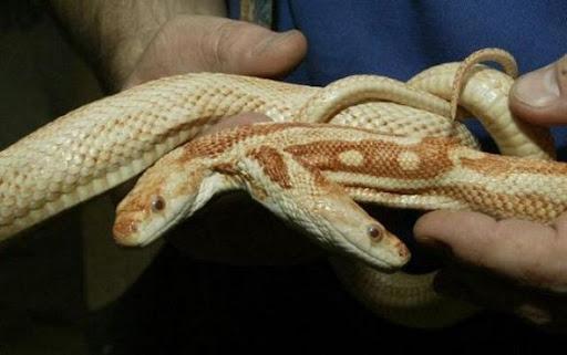 ular kepala dua 6 Kumpulan Ular Berkepala Dua di Seluruh Dunia