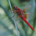 Neon Skimmer Dragonfly (male)