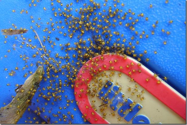 spiderswarm 2009-06-01 002
