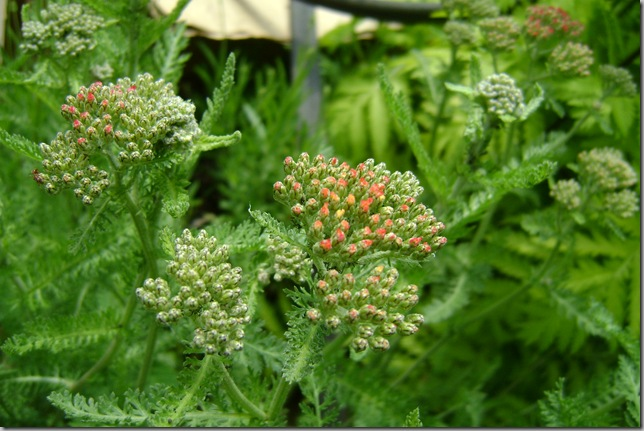 yarrow, about to bloom