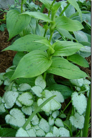 toad lilies and white nancy lamium