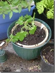 planters 032
