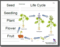 Alfa img - Showing > Tomato Plant Life Cycle For Kids