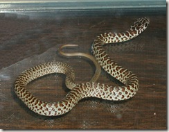 juvenile Yellow-bellied Racer