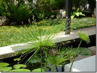 Dwarf Papyrus (Cyperus Haspen)for koi pond