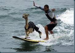 alpaca surfer