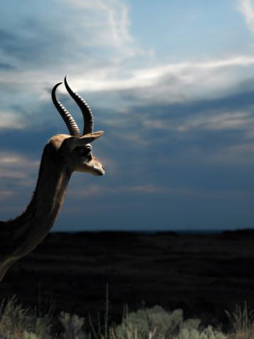 Gerenuk Deer