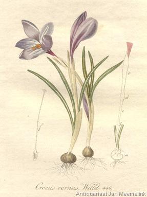 20038.Iridaceae - Crocus vernus