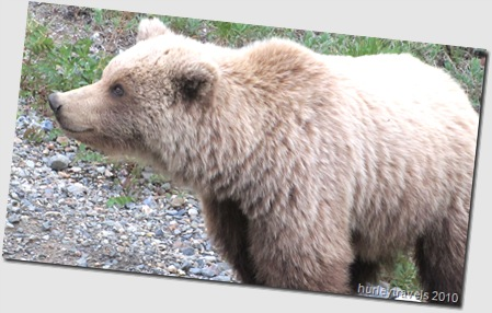 Grizzly cub takes a closer look at us on the bus at Denali