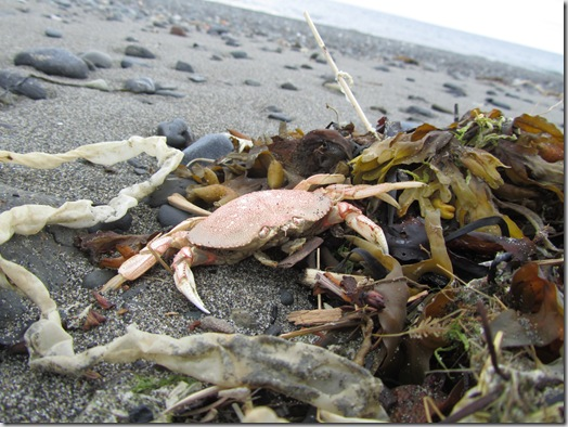 Mr. Crab on Homer beach, AK.