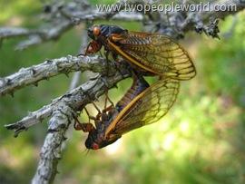 cicadas-660x495-custom