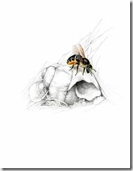 Snailshell Bee