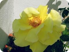 gmas roses2
