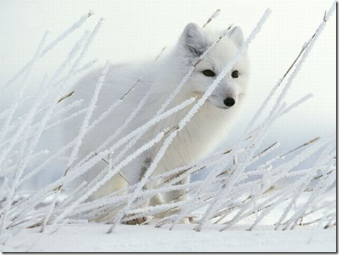 Arctic_Fox_Photo_3
