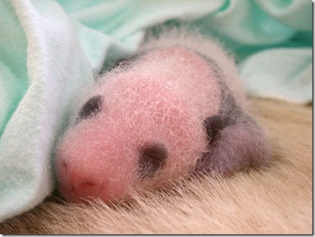 baby_panda (4)