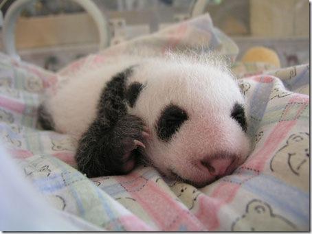 baby_panda (9)