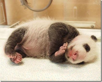 baby_panda (10)