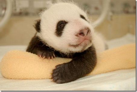 baby_panda (12)