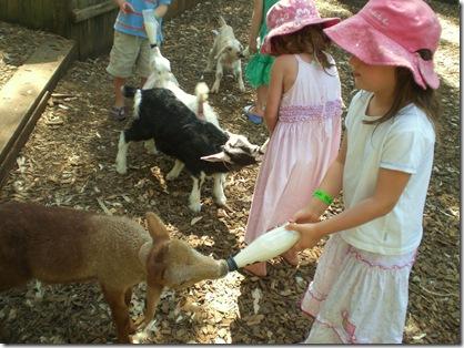 20 maca goat feeding