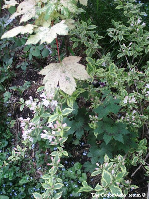 Acer Platinoides Ensk Sunset, Geranium Samobor, Mini Variegated Weigela, forget me nots