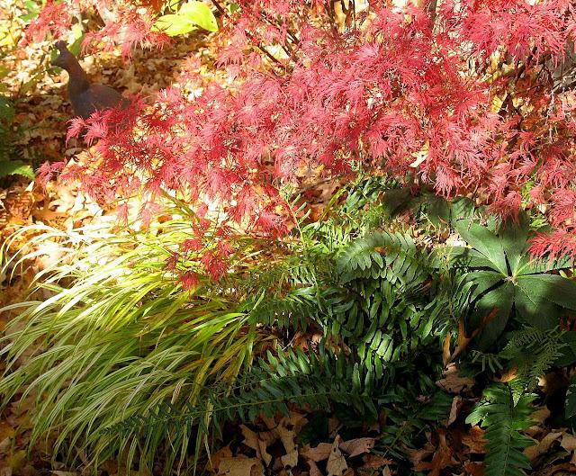 J.Maple Seiryu, Hakonechloa, Christmas Fern, Helleborus orientalis