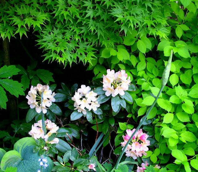 Hosta Northern Lights,Rhododendron Percy Wiseman,Acer palmatum Sangu Kaku, Philadelphus aurea, Allium bulgaricum