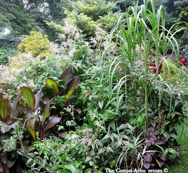 filipendula venustra rubrum,cannas Red Stripe ,persicaria polymorpha, miscanthus giganteus, persicaria red dragon