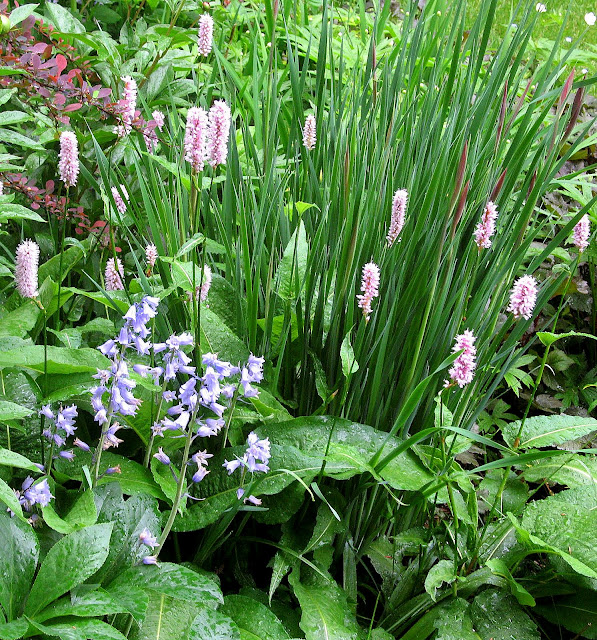 blue wood hyacinth and polygonum bistorta superbum