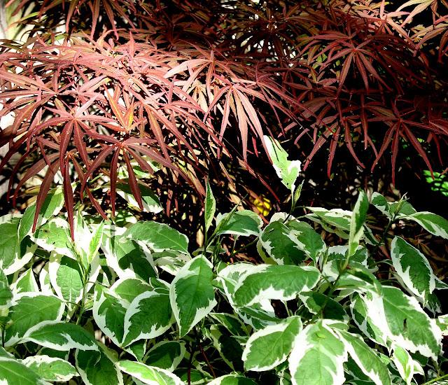 Acer dissectum Pixie, Cornus alba Ivory Halo