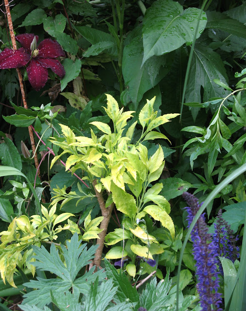 Clematis Niobe, Forsythia Summer Gold, Salvia May Night