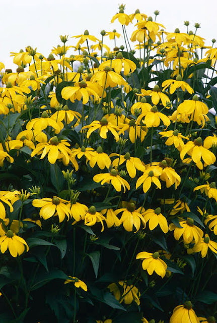 RUDBECKIA.jpg
