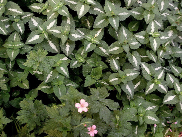 Lamium with Geranium A.T.Johnson
