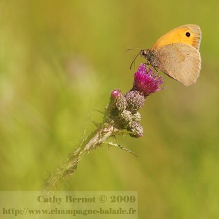 photo-papillon-lepidoptere-satyre-myrtil-fleur-chardon