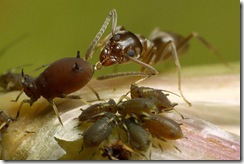 ants_aphids_sugar