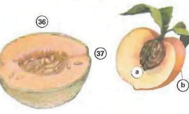 cantaloupe <!  :en  >Fruits<!  :  > things english through pictures english through pictures