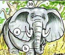 30. elephant  a. tusk  b. trunk