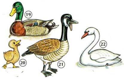 19. duck a. bill 20. duckling 21. goose 22. swan