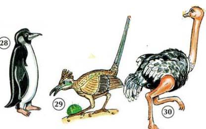 28. penguin 29. road runner 30. ostrich