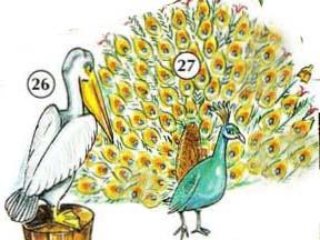 26. pelican 27. peacock