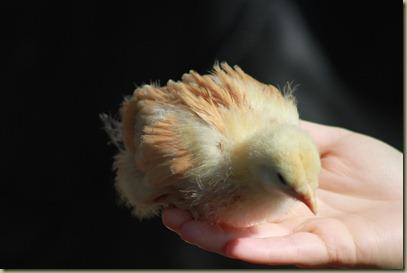 Chicken Babies (16)