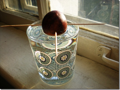 This is an avocado pit I'm trying to grow. It may or may not work.