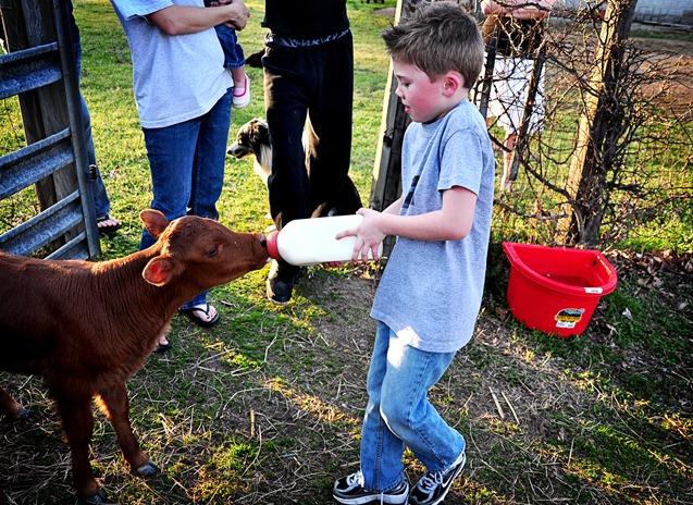 Jex feeding calf