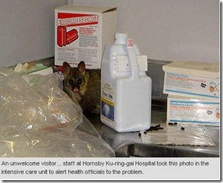 24 8 09 Hornsby Hospital Possum